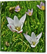 2016 Early May Meadow Garden Lady Jane Tulip Acrylic Print