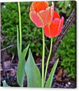 2016 Early May Tall Red Tulips Acrylic Print