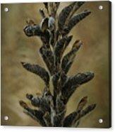 2016 Horicon Marsh - Seed Pods Unfurled Acrylic Print