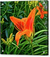2016 July Garden Daylily Summer Afternoon Acrylic Print