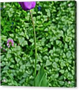2016 Mid May  Exotic Purple Tulip Acrylic Print