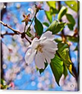 2016 Olbrich Cherry Blossoms 2 Acrylic Print