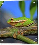 2017 11 04 Frog I Acrylic Print