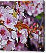 2017 Earthday Olbrich Gardens Fuji Cherry 1 Acrylic Print