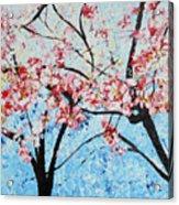 201726 Cherry Blossoms Acrylic Print
