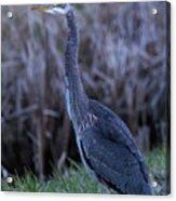 2018_3_09  Blue Heron-5652 Acrylic Print