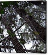 Australia - Spider Web High In The Tree Acrylic Print
