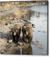 Grizzly Bear Ursus Arctos Horribilis Acrylic Print