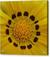 Australia - Yellow Daisy Flower Acrylic Print