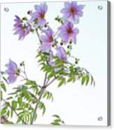 Fully Bloomed Pink Dahlia Imperialis At Garden In November Acrylic Print