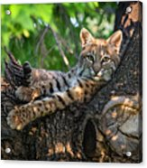 In A Lurch - Bobcat 8 Acrylic Print