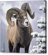 25084, Bighorn Sheep, Winter, Jasper Acrylic Print