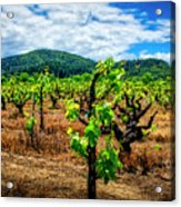 2638- Coffaro Vineyard Acrylic Print