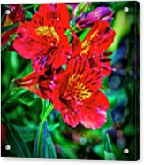2647- Red Flowers Acrylic Print