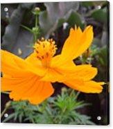 Australia - Yellow Cosmos Carpet Flower Acrylic Print