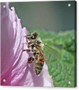 Honeybee Acrylic Print