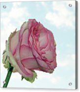 Beautiful Rose Acrylic Print