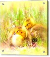 2736 - Canada Goose Acrylic Print