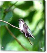 2757 -  Hummingbird Acrylic Print