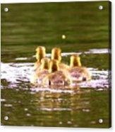 2767 - Canada Goose Acrylic Print
