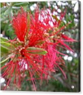 Australia - Red Flower Of The Callistemon Acrylic Print
