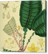 Vintage Botanical Illustration Acrylic Print
