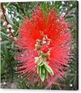 Australia - Callistemon Red Flower Acrylic Print