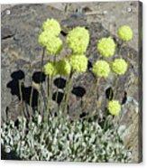 2da5927-dc Sulpher Flower Acrylic Print