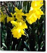 A Daffodil Exhibit Acrylic Print