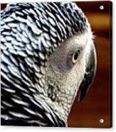 African Grey Parrot  Acrylic Print