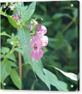 Alpine Wildflower Acrylic Print
