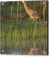 American Bittern Along The Shore Acrylic Print