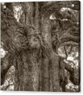 Angel Oak Live Oak Tree Acrylic Print