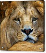 Angolian Lion Acrylic Print