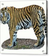 Asian Tiger Acrylic Print