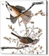 Audubon: Sparrow, (1827-38) Acrylic Print