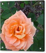Australia - Orange Rose Flower Acrylic Print