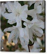 Azalea Flowers Acrylic Print