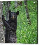Black Bear Yearling Acrylic Print