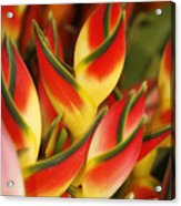 Bunch Of Heliconia Acrylic Print