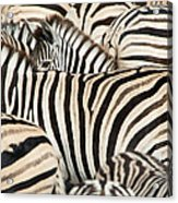 Burchells Zebras Equus Quagga Acrylic Print