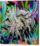 Cannabis 420 Collection Acrylic Print