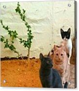 3 Cats Acrylic Print