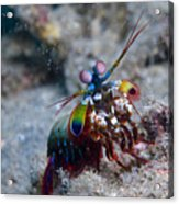 Close-up View Of A Mantis Shrimp, Papua Acrylic Print