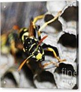Common Wasp Vespula Vulgaris Acrylic Print