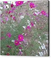 Cosmos Flowers    Acrylic Print