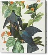 Crowned Pigeon Acrylic Print