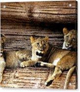 3 Cubs Acrylic Print