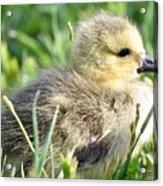 Cute Baby Goose Acrylic Print