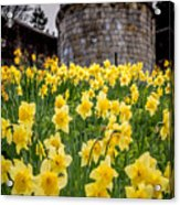 Daffodils And Bar Walls, York, Uk. Acrylic Print